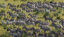 Csak a netezők 6%-a látja meg rögtön, milyen állat rejtőzött el a zebrák között: te tudsz válaszolni a kérdésre?